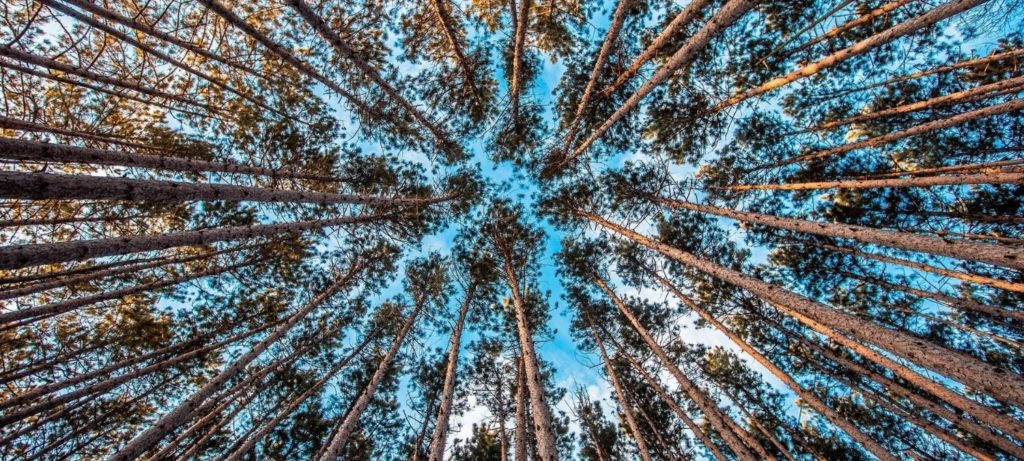 A bunch of tall trees looking up